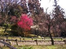 井の頭自然文化園 梅は満開です