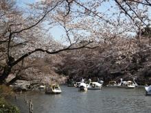 吉祥寺 井の頭恩賜公園の桜は今見ごろを迎えています!