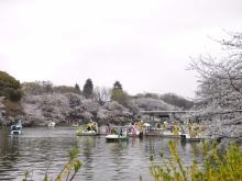 桜が綺麗です!