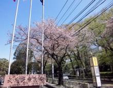 武蔵野市役所前の桜は…