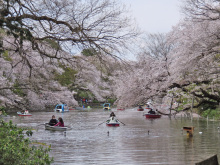 2014春 桜を楽しむ