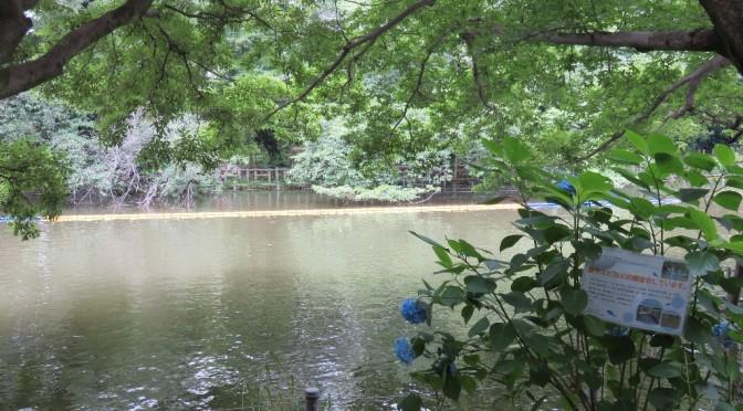 井の頭池に在来魚が増えている!