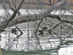 井の頭池カモ