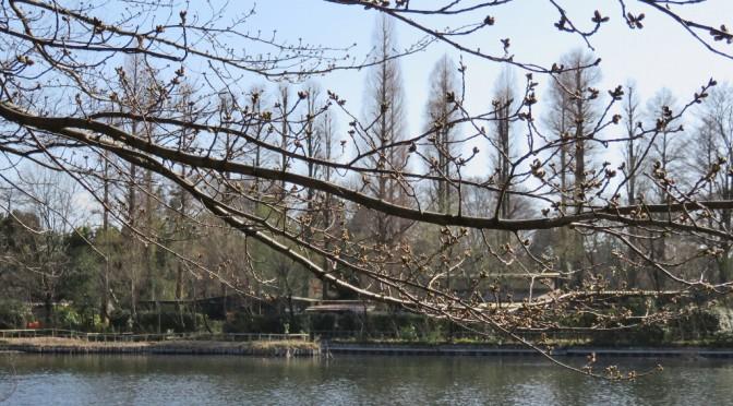 井の頭公園の初桜