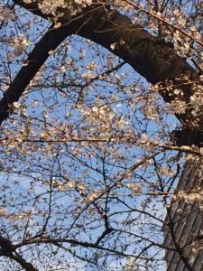 プレイス前桜