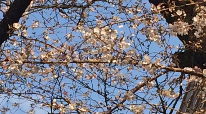 武蔵境の桜並木は5分咲きに