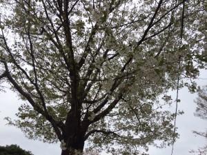 桜橋の山桜