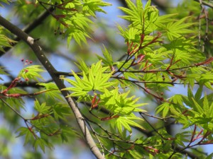2016春モミジ新緑