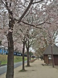 玉川上水_桜橋1-1