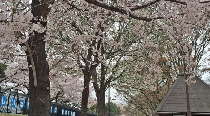 江戸時代からの桜の名所『玉川上水緑道』~桜橋から桜堤を歩く~