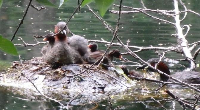 井の頭池の水鳥たちが可愛すぎる
