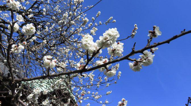 月窓寺の梅も満開です!