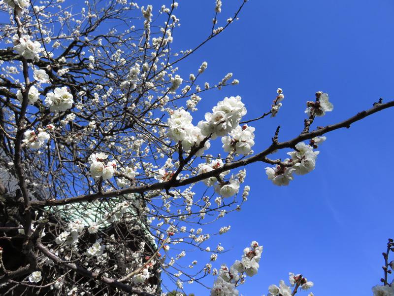月窓寺の梅(撮影:武蔵野市ボランティアガイド 高橋 尚隆 氏)