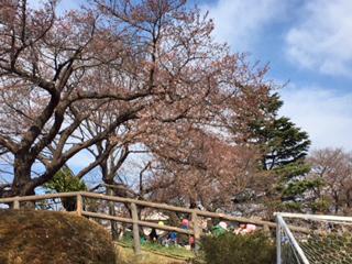 武蔵野陸上競技場、2017/4/2の桜の様子。