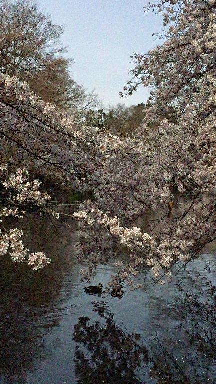 【photo📷ギャラリー】本日の桜の様子@井の頭恩賜公園🌸