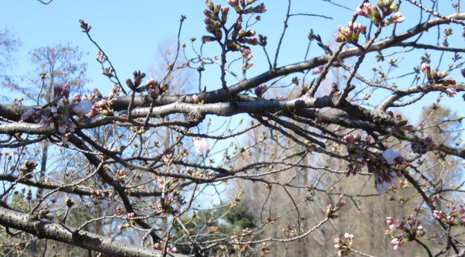 桜が咲き始めました🌸