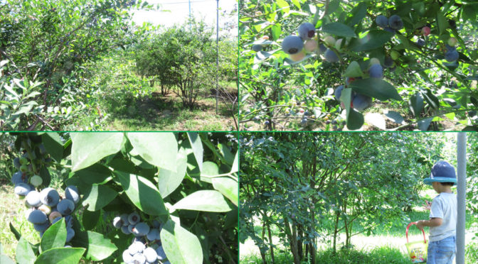武蔵野市でブルーベリー摘み♪(Kenchan Farm)
